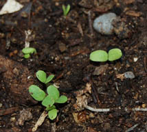 germination salade