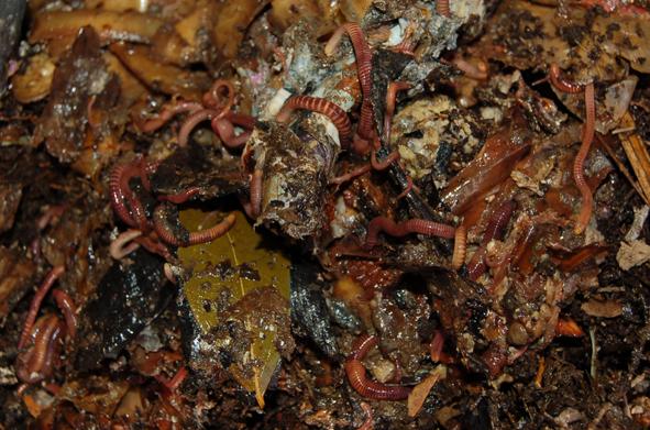 Vers de terre dans compost frais.