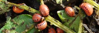 larves doryphores