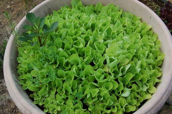 semi de salade
