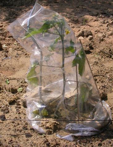 plant de tomate protégé