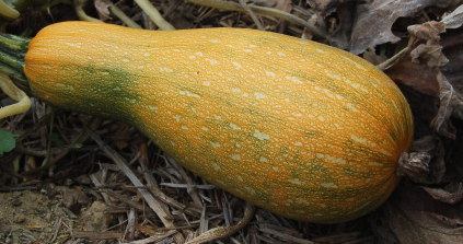 courgette mure