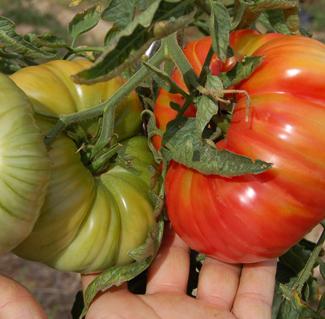 graines tomates passoire conseils coaching jardinage des conseils pour votre jardin. Black Bedroom Furniture Sets. Home Design Ideas
