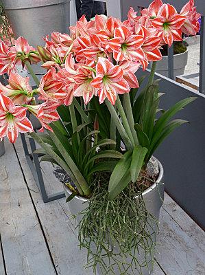 floraison-hypeatrum-amaryllis-bicolore