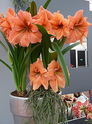 floraison-hypeatrum-amaryllis-orange