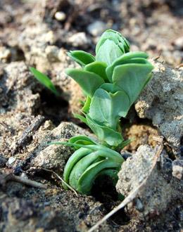 semis de pois qui lèvent