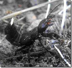 """staphylin noir """"le diable"""" insecte auxiliaire au jardin"""