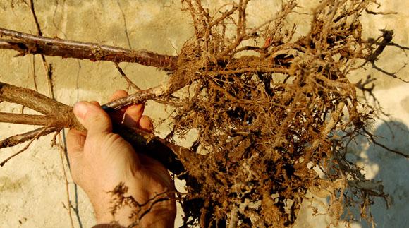plantes en racines nues