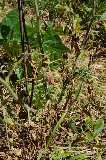 tomate mildiou 1