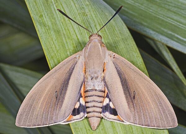Papillon du palmier Paysandisia_archon_Didier Descouens CC BY-SA 4.0
