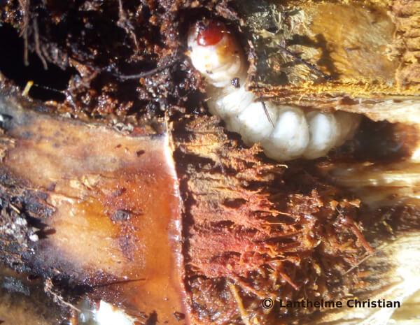 chenille papillon du palmier -paysandisia