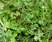 salades sauvages - balades plantes comestibles